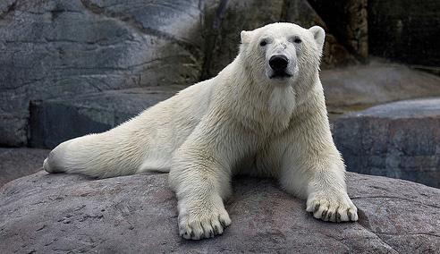 Jegesmedve a koppenhágai állatkertben