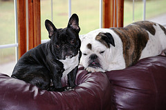 francia-bulldog-es-angol-bulldog