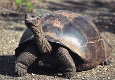 idős teknős