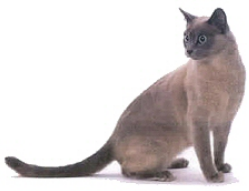 tonkinéz macska