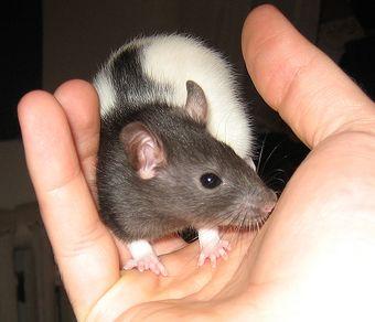 Patkány a kézben