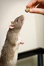 patkány jutalomfalatért pitizik