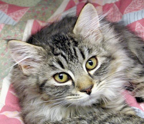 Beteg cica, FeLV fertőzés