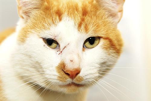 Sebesült macska, karmolás az arcán
