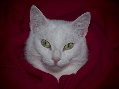 náthás macska takaró alatt