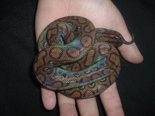 kígyó a kézben