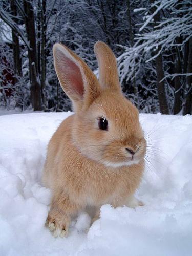 Nyuszi a hóban