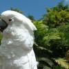 A fehérbóbitás kakadu (Cacatua alba)