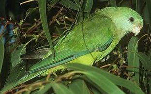 nőstény énekes papagáj