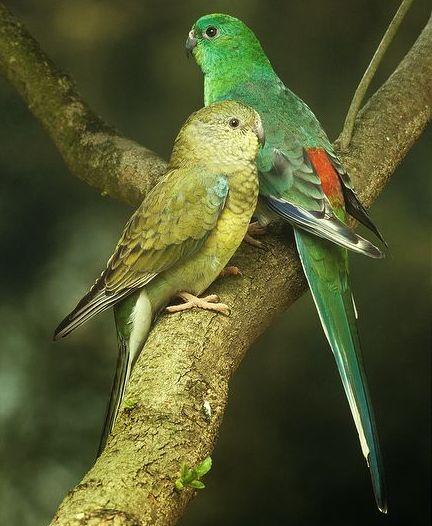 Énekes papagáj pár