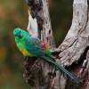 Énekes papagáj (Psephotus haematonotus)