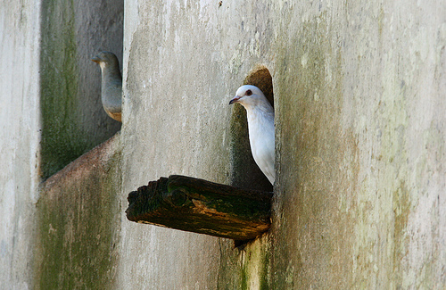 fehér galamb