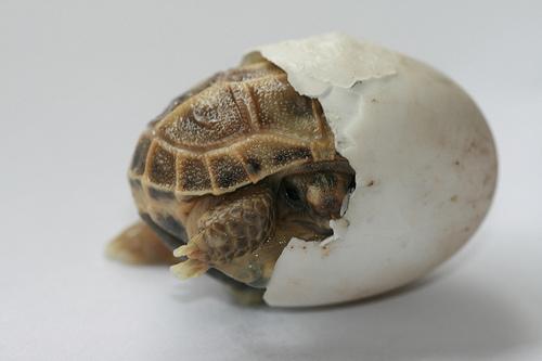 teknőstojásból kikelő teknősbébi