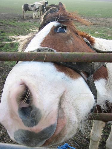 szimatoló ló