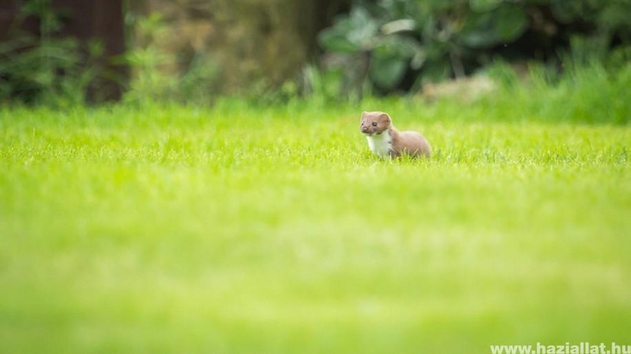 Kerti ragadozók: nyuszt, nyest, görény, menyét és társaik