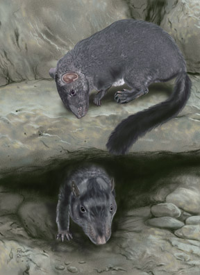 Laoszi sziklapatkány (Laonastes aenigmamus)