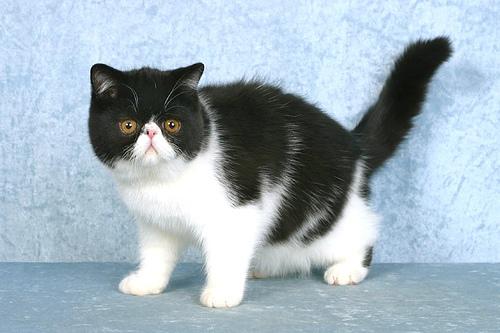 Fekete-fehér exotic macska