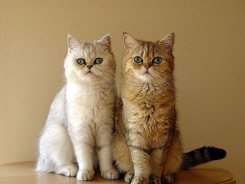 Két exotic macska