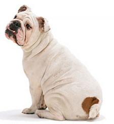 Kövér bulldog