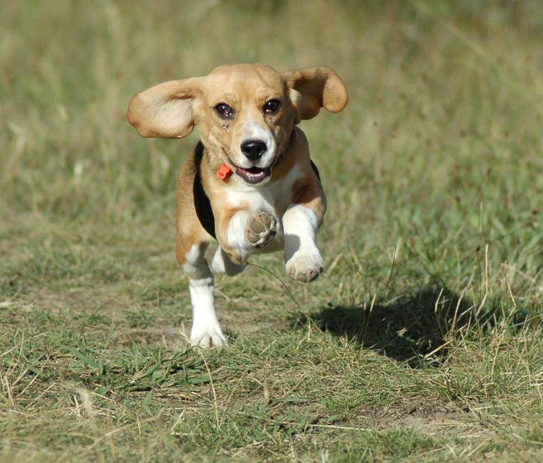 Beagle kölyök fut