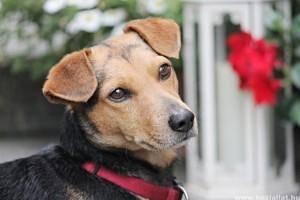hogyan lehet lefogyni egy chihuahua kutyan