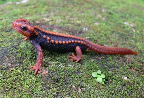 Krokodil gőte (Tylototriton verrucosus)