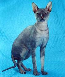Afinogen-Myth, (Don Hairless fajta), a Peterbald fajta alapító kandúrja