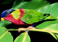 Lóri papagáj