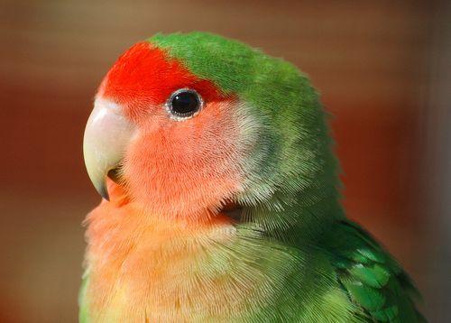 Törpepapagáj, lovebird