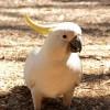 Snowball, a híres kakadu