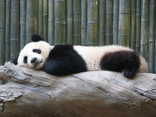 Pandamackó az állatkertben