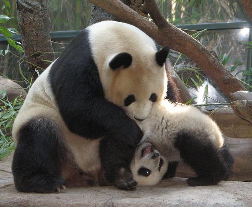 Panda és kölyke