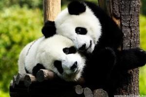 Mindenki kedvence: a panda