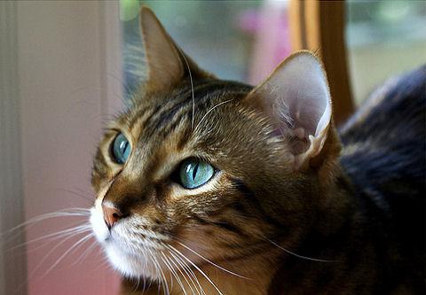 macska, influenza