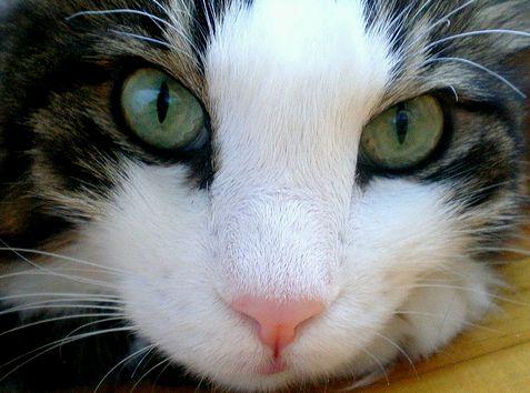 macskaszépség
