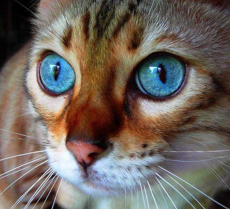 Díjnyertes macska