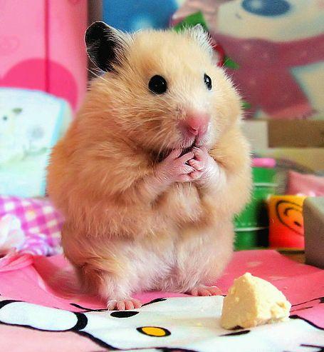 hörcsög, barátságos, eszik