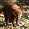 Ormányos medve: fütyörészve mászik a fára