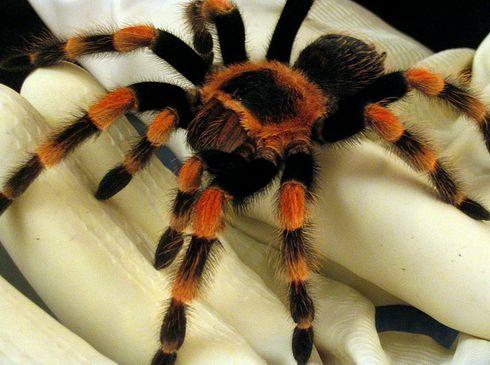 Mexikói vöröstérdű tarantula