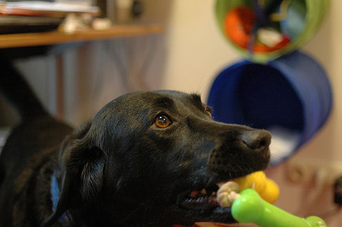 kutya játékcsont, kutya fogerősítő játék
