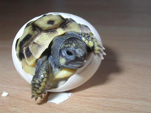 görög teknős, tojás