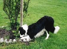 kutya, kertben, gödröt ás