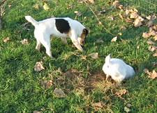 kutya, kotorékeb, ásás