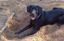 kutya, ás, keres