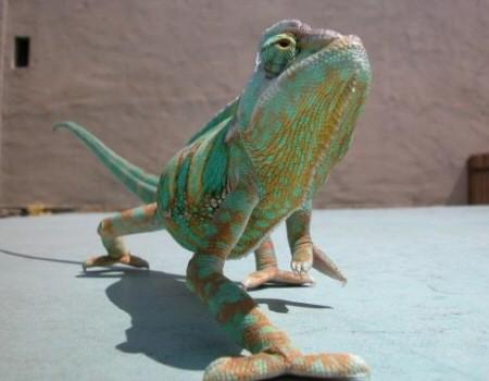 zoldes-barna-kemeleon