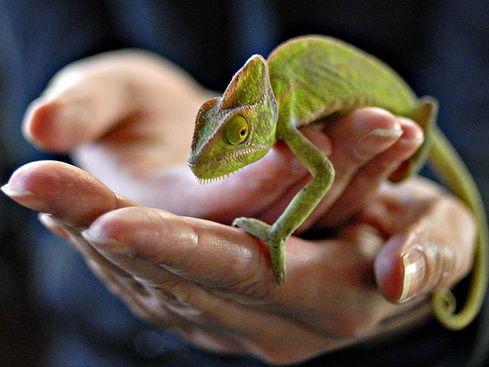 kameleon-kezben