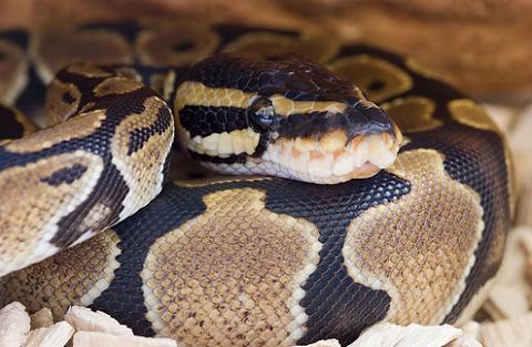 piton, királypiton, kígyó