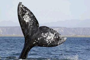 Miért úszik a bálna?