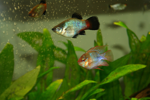 akvarium-halakkal