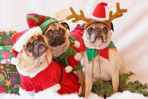 Nézze meg, milyen a top 10 karácsonyi kutyadivat!